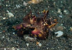 BD-090925-Lembeh-9253869-Metasepia-pferreri-(Hoyle.-1885)-[Flamboyant-cuttlefish].jpg